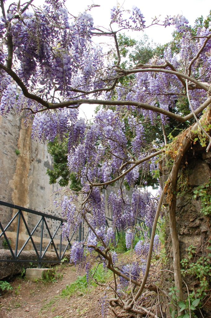 Lovely wisteria that is everywhere here at this time.