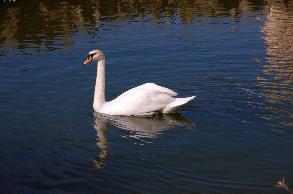 The swan at Buçaco.