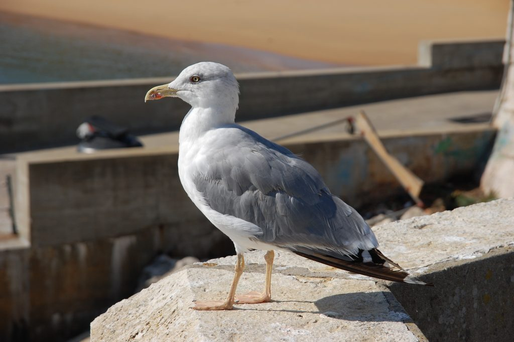 Uma gaivota.