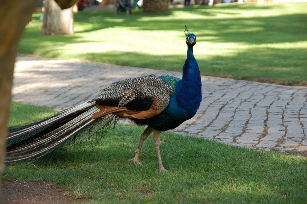 An inquisitive peacock in Parque Marechal Carmona.