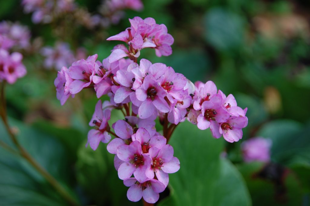 Yet another lovely flower (bergenia) found and photographed in Jardim da Estrela.