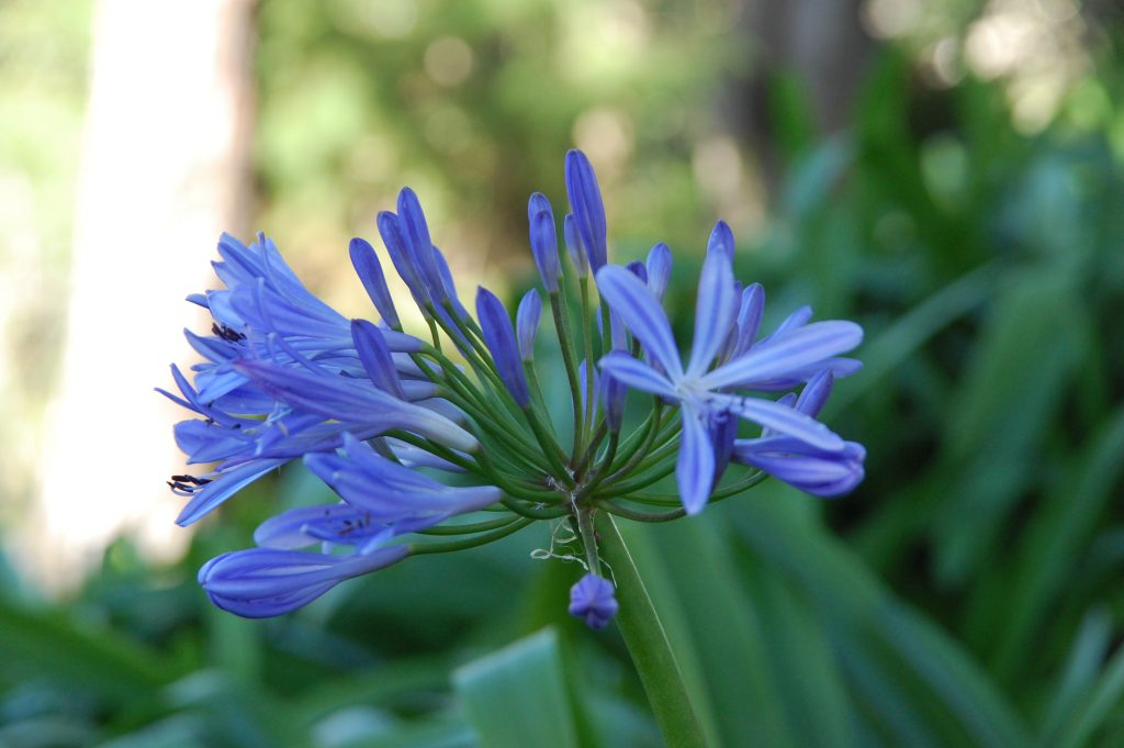 Blue flowers (agapanthus in this case) always seem difficult to photograph ;-[