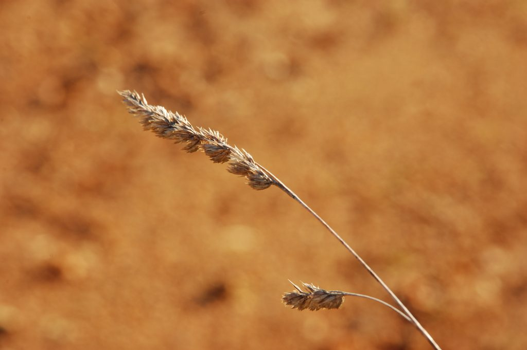 Susan's new series - grain, or grain-like  plants.
